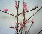 桃の花、買っちゃいました♪