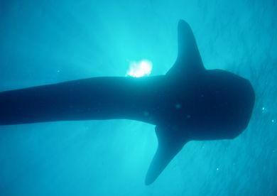 Whale_shark3